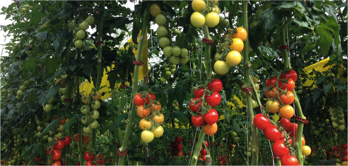 A Better Way To Grow Tomatoes Hydroponic Life Cycle